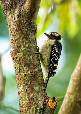 Downy Woodpecker On Tree Poster