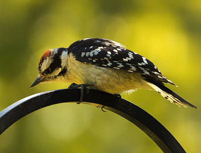 Downy Woodpecker Up Close 3 Poster