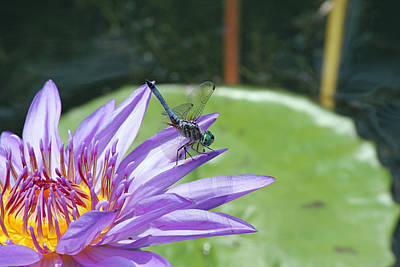Dragonfly On Purple Water Lily Poster by Becky Lodes