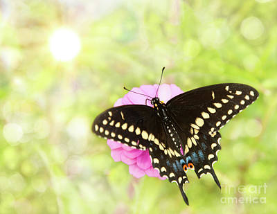Dreamy Black Swallowtail Butterfly Poster