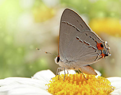 Dreamy Hairstreak Butterfly Poster