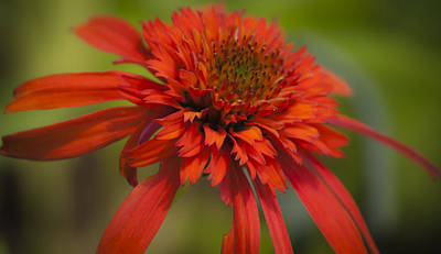 Dreamy Hot Papaya Coneflower Bloom Poster