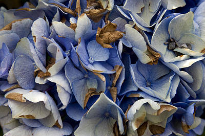 Poster featuring the photograph Drying Hydrangea by Michael Friedman