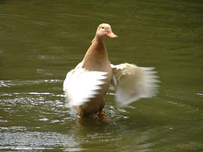 Duck Flapper Poster by Wendy McKennon