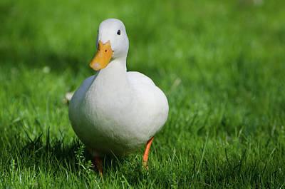 Duck On Grass Poster