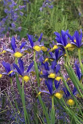 Dutch Iris (iris Xiphium) Poster by Colin Varndell