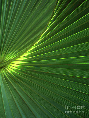 Dwarf Palmetto Leaves Poster