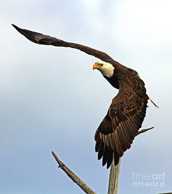 Poster featuring the photograph Eagle Flight-wing Power by Larry Nieland
