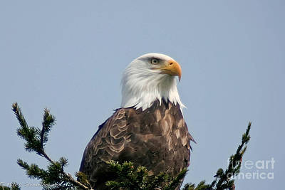 Poster featuring the photograph Eagle  by Mitch Shindelbower