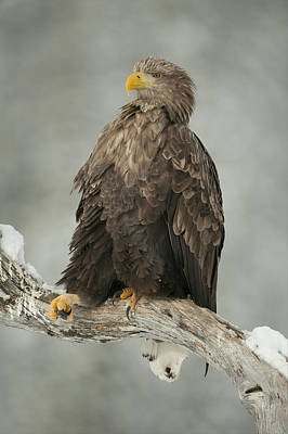 Eagle Relaxing On A Branch - Just Chillin' Poster