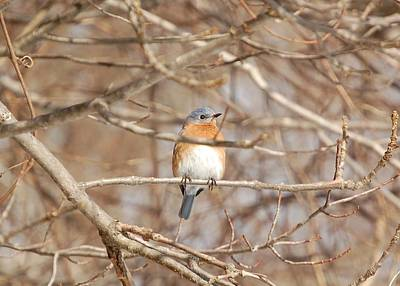 Poster featuring the photograph Eastern Bluebird by Mary McAvoy