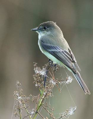 Eastern Phoebe And Cobwebs Poster
