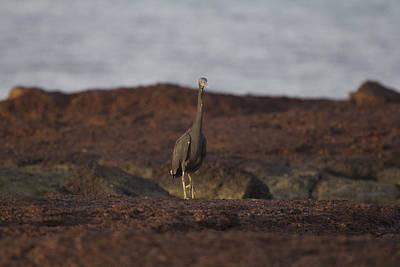 Eastern Reef Egret-dark Morph Poster by Douglas Barnard