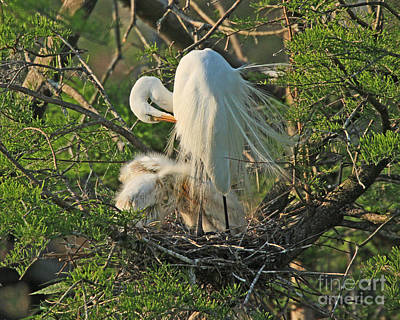Poster featuring the photograph Egret - Mother And Baby Egrets by Luana K Perez