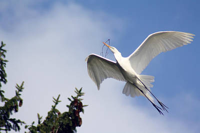 Egret Carrying Stick Poster