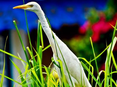 Egret In Grass Poster