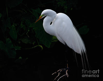 Egret On A Branch Poster by Art Whitton