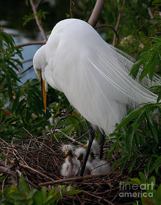 Egret With Chicks Poster by Art Whitton
