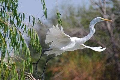 Poster featuring the photograph Egret's Flight by Tam Ryan