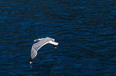 Poster featuring the photograph Elba Island - Flying For Food - Ph Enrico Pelos by Enrico Pelos