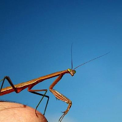 Elbow Mantis Poster