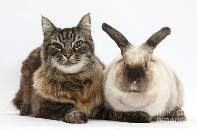 Elderly Cat With Colorpoint Rabbit Poster by Mark Taylor
