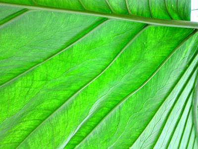 Elephant Ear Plant Leaf Poster