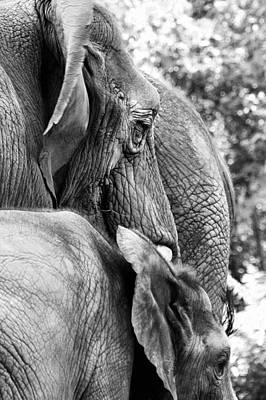 Elephant Ears Poster