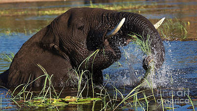 Elephant Eating Grass In Water Poster