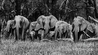 Elephant Herd Poster