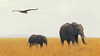 Elephants In Grass Field With Flying Lappet Poster