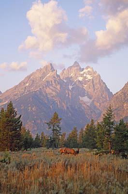 Elk Graze Below The Grand Teton Poster by Gordon Wiltsie