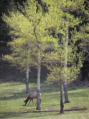 Elk Grazing In Early Spring Poster