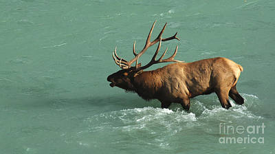 Elk In The Athabasca River Poster