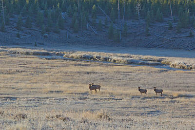 Elk In The Morning Poster by Twenty Two North Photography