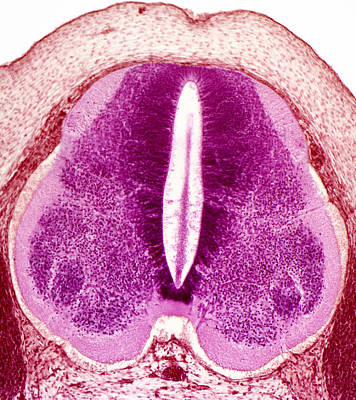 Embryo Spinal Cord, Light Micrograph Poster