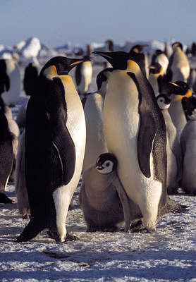 Emperor Penguins And Chicks Poster by Doug Allan