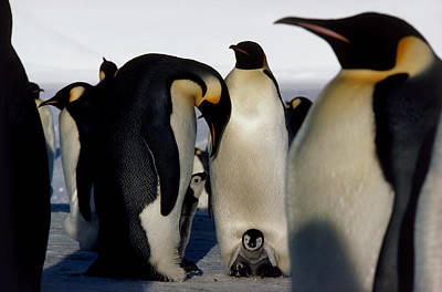Emperor Penguins Sheltering Chicks Poster by Doug Allan