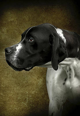 Poster featuring the photograph English Pointer Dog Portrait by Ethiriel  Photography