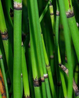Poster featuring the photograph Equisetum by Judi Bagwell
