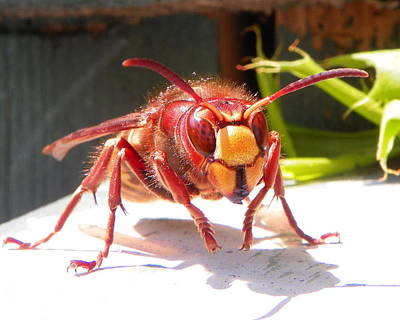 Poster featuring the photograph European Hornet by Chad and Stacey Hall