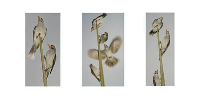 Evening Song Birds Trio Poster