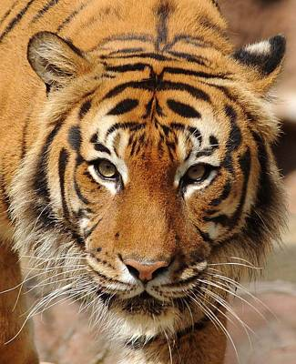 Poster featuring the photograph Eye Of The Tiger by Renee Hardison