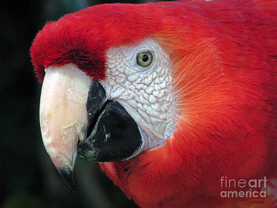 Poster featuring the photograph Face Of Scarlet Macaw by Alexandra Jordankova