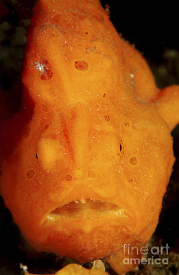 Face Shot Of An Orange Frogfish, North Poster by Mathieu Meur