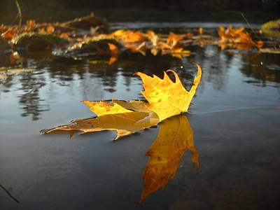 Fallen Maple Leaf Reflection Poster