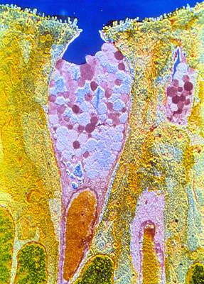False-colour Tem Of A Duodenal Goblet Cell Poster