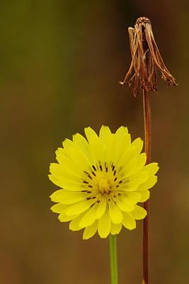 False Dandelion Flower With Wilted Fruit Poster