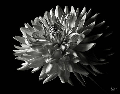 Fancy Dahlia In Black And White Poster