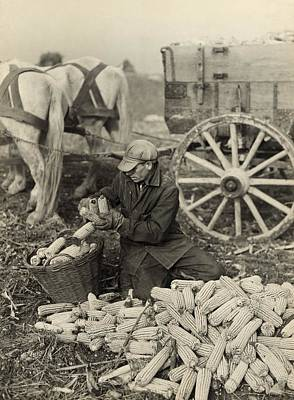 Farmer Collecting Husked Corn To Load Poster